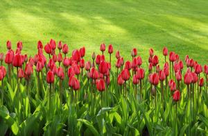 Bien planter ses tulipes dans la terre