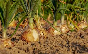 Comment bien planter des oignons