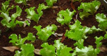 Comment empêcher les insecter de détruire les salades