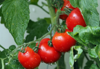 Comment planter des tomates pour les débutants