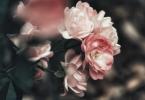 Différentes sortes de roses
